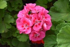 美丽的花,尼亚加拉在这湖 免版税图库摄影