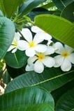 美丽的花, Lan Thom花 免版税库存照片