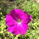 美丽的花紫色喇叭花 免版税库存照片