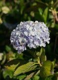 美丽的苍白紫罗兰八仙花属花 库存照片