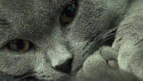 美丽的苏格兰人折叠灰色猫特写镜头 4K UltraHD, UHD 股票视频