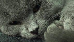 美丽的苏格兰人折叠灰色猫特写镜头 4K UltraHD, UHD 股票录像