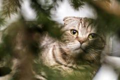 美丽的苏格兰人折叠猫带着在模糊的圣诞节的凝视 库存照片