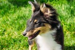 美丽的苏格兰人Sheltie小狗,绿色背景 图库摄影