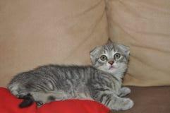 美丽的苏格兰小猫 库存照片