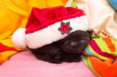 美丽的苏格兰幼小猫 免版税库存图片