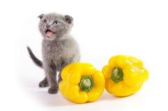 美丽的苏格兰幼小猫 图库摄影