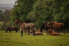 美丽的苗条棕色马牧群与黑尾巴的在绿草吃草 免版税图库摄影