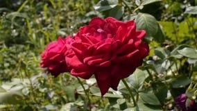 美丽的英国兰开斯特家族族徽在庭院里在一个夏天 晴朗的日 股票视频