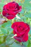 美丽的英国兰开斯特家族族徽照片  免版税库存图片