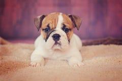 美丽的英国牛头犬小狗 免版税库存图片