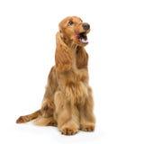 美丽的英国猎犬 库存图片