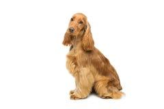 美丽的英国猎犬 图库摄影