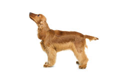 美丽的英国猎犬 库存照片