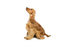 美丽的英国猎犬 免版税库存图片