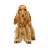 美丽的英国猎犬 免版税库存照片
