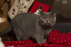 美丽的英国猫和新年的格子花呢披肩,在壁炉的袜子 免版税库存图片
