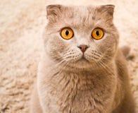 美丽的英国猫 免版税库存照片