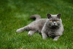 美丽的英国蓝色Shorthair猫 免版税库存照片