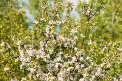 美丽的苹果开花关闭反对蓝天在一个明亮的晴天 库存照片