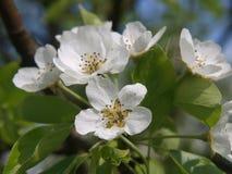 美丽的苹果开花 库存照片