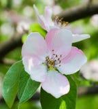 美丽的苹果树开花特写镜头 免版税库存照片