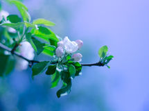 美丽的苹果树花 免版税库存照片