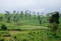美丽的茶农场和山 免版税库存图片
