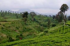 美丽的茶农场和山 库存照片