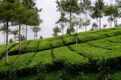 美丽的茶农场和树 库存照片