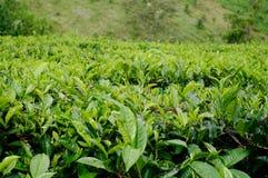 美丽的茶农场 库存图片