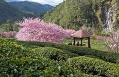 美丽的茶园在台湾 库存照片