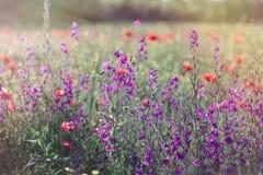 美丽的草甸在春天-狂放的草甸开花 库存照片