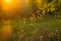 美丽的草甸植物抽象背景在橙色日落阳光下 免版税库存图片