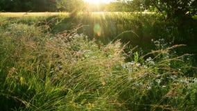 美丽的草甸的片段背后照明的 股票录像