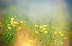 美丽的草甸花-毛茛花在春天 免版税库存图片