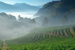 美丽的草莓农场和在山和雾之中在早晨 免版税库存图片