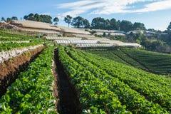 美丽的草莓农场和泰国农夫房子小山的 免版税库存照片