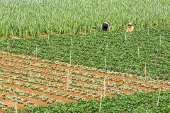 美丽的草莓农场 免版税库存图片