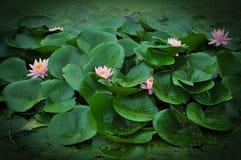 美丽的荷花池在夏天在中国 开花莲花 免版税库存图片