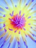 美丽的荷花的花蕾 免版税库存图片