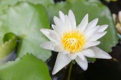 美丽的莲花、白莲教花精选的焦点迷离或者被弄脏的软的焦点,莲花背景 库存照片