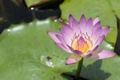美丽的莲花、紫色莲花精选的焦点迷离或者被弄脏的软的焦点,莲花背景 库存照片