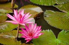 美丽的莲花在池塘 库存照片