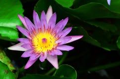 美丽的莲花在池塘 免版税库存图片