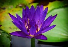 美丽的莲花在池塘 图库摄影
