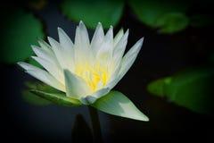 美丽的莲花在池塘 免版税库存照片