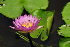 美丽的莲花在池塘 免版税图库摄影