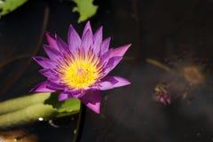 美丽的莲花在池塘 库存图片