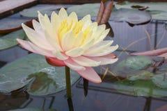 美丽的莲花是菩萨的标志 免版税图库摄影